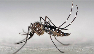 Image of aedes aegypti mosquito carrying Zika virus