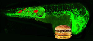 Zebrafish and hamburger