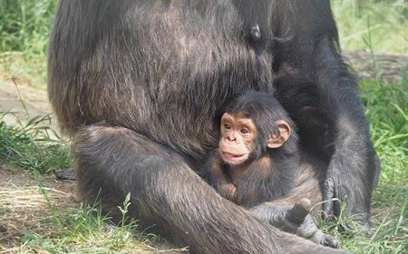 Chimpanzee baby and mother