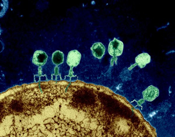 Phages (green) docking on a bacterium