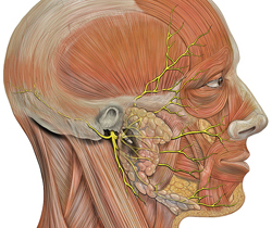 Facial Nerves Diagram - Credits: Patrick J. Lynch, medical illustrator; C. Carl Jaffe, MD, cardiologist